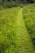 Mown path through wildflower meadow, buttercups