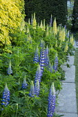 Lupinus 'The Governor' and 'Chandelier' (Band of Nobles Series), mowing strip
