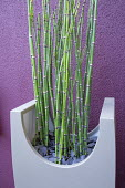 Equisetum ramosissimum var. japonicum in large contemporary container against purple painted wall, slate chippings mulch