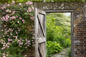 Wooden gate in brick wall leading to secret garden, Rosa 'Cornelia'