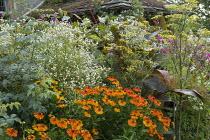 Helenium 'Sahin's Early Flowerer', Foeniculum vulgare, Erigeron annuus, Canna indica 'Purpurea'
