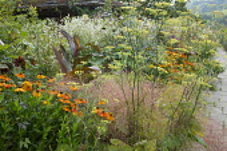 Helenium 'Sahin's Early Flowerer', Foeniculum vulgare, Erigeron annuus, Canna indica 'Purpurea', Stipa arundinacea