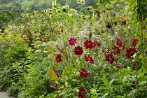 Dahlia, Salvia confertiflora, Helianthus annuus 'Magic Roundabout', Canna indica 'Purpurea'