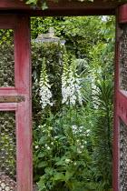 View through rustic red gate to Digitalis purpurea