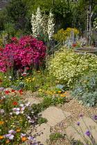 Colourful seaside garden, stepping stone path through gravel, Rosa 'Hertfordshire' syn 'Kortenay', Calendula officinalis