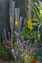 Erysimum 'Bowles's Mauve', Ligularia 'The Rocket', driftwood posts, poppies