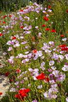 Drift of poppies and Oenothera acaulis
