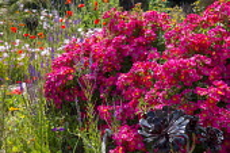 Rosa 'Hertfordshire' syn 'Kortenay', Linaria purpurea