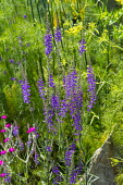 Linaria purpurea, fennel
