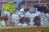 Sempervivums and sedum in ceramic trough, driftwood