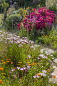 Colourful seaside garden, stepping stone path through gravel, Rosa 'Hertfordshire' syn 'Kortenay', Calendula officinalis, Verbena bonariensis, Oenothera acaulis