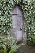 Wooden gate, ivy-covered wall, Hedera colchica 'Dentata Variegata'