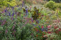 Salvia 'Indigo Spires', Salvia curviflora, Tagetes 'Cinnabar' and Canna indica 'Purpurea' in border