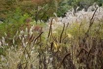 Veronicastrum virginicum seedheads, Miscanthus sinensis 'Flamingo', Zelkova serrata, Euonymus alatus