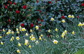 Camellia japonica 'Twiss Cornwall' with daffodils