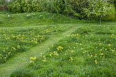 Mown paths through lawn with naturalised Primula veris