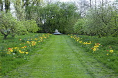 Mown path through lawn lined with tulips including Tulipa 'Candela', 'Euromast', 'Orange Emperor', 'Cherida', 'Makassar', 'Garant', 'Golden Apeldoorn' and 'City of Vancouver', view to metal bench by B...
