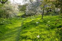Mown path through lawn, Malus floribunda underplanted with Tulipa 'Peerless Pink', 'Negrita' and 'Snowstar'