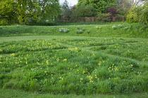 Mown paths through lawn with naturalised Primula veris, Prunus 'Kanzan'