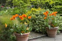 Tulipa 'Apeldoorn's Elite' in terracotta pots, Euonymus fortunei 'Emerald Gaiety', Euonymus fortunei 'Emerald 'n' Gold', Pinus mugo, Euonymus alatus, Anemanthele lessoniana