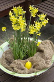 Narcissus 'Hawera' in pot on table