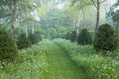 Mown path through wildflower meadow in birch woodland, avenue of clipped yew shrubs