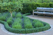 Pear tree underplanted with Lavandula angustifolia 'Hidcote', Teucrium x lucidrys border edging, wooden bench by yew hedge