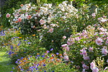 Rosa 'Felicia', 'Just Joey' and 'Penelope', Erysimum 'Apricot Twist' and Geranium 'Rozanne' border edging
