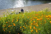 Eschscholzia californica on sloping bank, woman sitting on bench overlooking canal