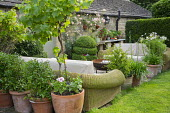 Outdoor sofas with cushions on patio, agapanthus and standard grape vine, Vitis 'Triomphe d'Alsace' in terracotta pots, Rosa 'Phyllis Bide'