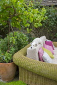 Cushions on large outdoor sofa, sleeping dog, standard grape vine, Vitis 'Triomphe d'Alsace', in large terracotta pot