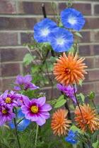 Dahlia 'Andries' Orange', Ipomoea tricolor 'Heavenly Blue', Cosmos bipinnatus 'Versailles Tetra'