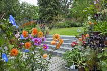 Dahlia 'Andries' Orange', Cosmos bipinnatus 'Versailles Tetra', Ipomoea tricolor 'Heavenly Blue',  decking, granite steps to lawn, Aeonium 'Zwartkop', watering can