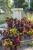 Coleus in pots on steps around sundial