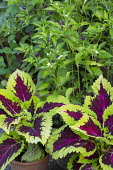 Coleus, chilli peppers
