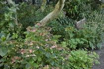 Wooden bench, hydrangea, Persicaria amplexicaulis 'Alba'