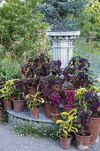 Coleus in terracotta pots on steps around sundial