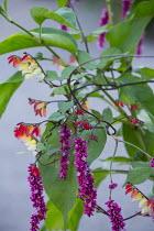 Persicaria orientalis, Ipomoea lobata syn. Quamoclit lobata
