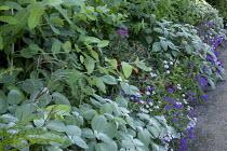 Plectranthus, verbena