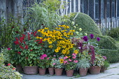 Colourful display of potted plants in front of historical house, box topiary, amaranthus, rudbeckia, dahlia, pelargonium, actaea