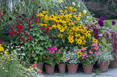 Colourful display of potted plants in front of historical house, amaranthus, rudbeckia, dahlia, pelargonium, fuchsia