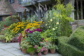 Colourful display of potted plants in front of historical house, box topiary, amaranthus, rudbeckia, dahlia, salvia, canna, pelargonium, fuchsia, actaea