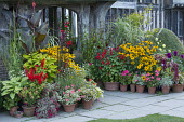 Colourful display of potted plants in front of historical house, amaranthus, rudbeckia, dahlia, salvia, canna, pelargonium, fuchsia, actaea
