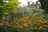 Dahlia 'David Howard', trained pear tree espalier, marigolds