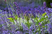 Nepeta racemosa 'Walker's Low', Salvia x sylvestris 'Schneehügel', Salvia verticillata 'Purple Rain'