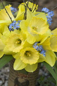 Posy of daffodils and myosotis, Narcissus 'Pineapple Prince'