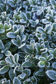 Buxus sempervirens in frost