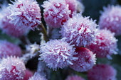 Skimmia japonica subsp. reevesiana in frost