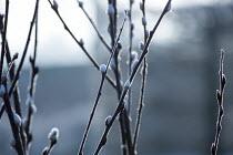 Catkin stems