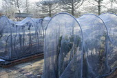 Kitchen garden in winter, mesh winter wrapping over frames to protect Brussels sprouts